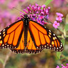 Monarch Butterfly in the late afternoon sun.