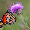 Monarch Butterfly on a purple thistle weed flower
