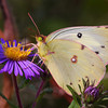 Clouded Sulphur Butterfly on New England Aster