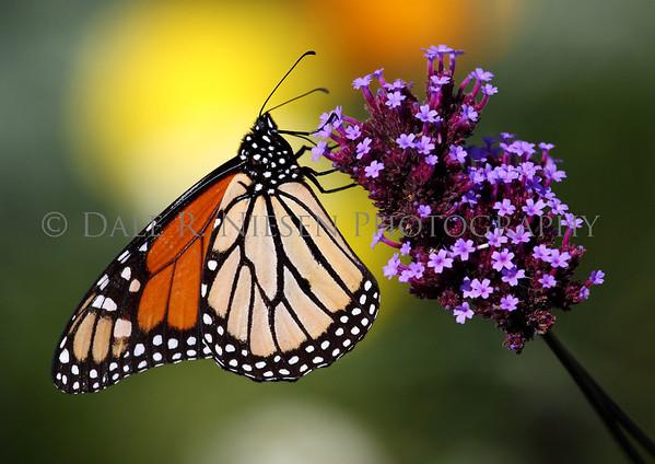 Monarch Butterfly, Mackinac Island, Michigan October 2011