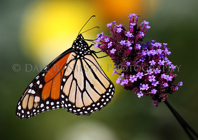 Monarch Butterfly, Mackinac Island, Michigan October 2011
