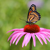 Viceroy Butterfly on a Purple Cone Flower