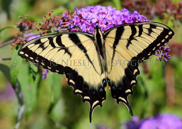 Eastern Tiger Swallowtail Butterfly (male)
