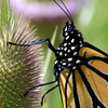 Close up of a Monarch Butterfly on a Teasel cone.