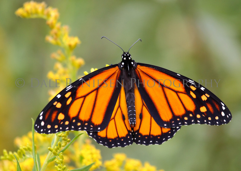 Monarch Butterfly in full display on Goldenrod