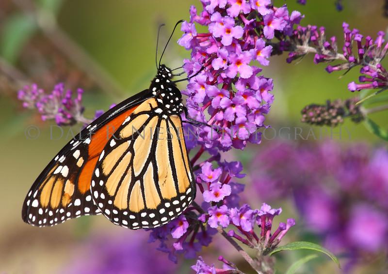 Monarch Butterfly on a purple Butterfly Bush