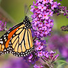 Monarch Butterfly on a purple Butterfly Bush