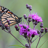 Monarch Butterfly on Ironweed