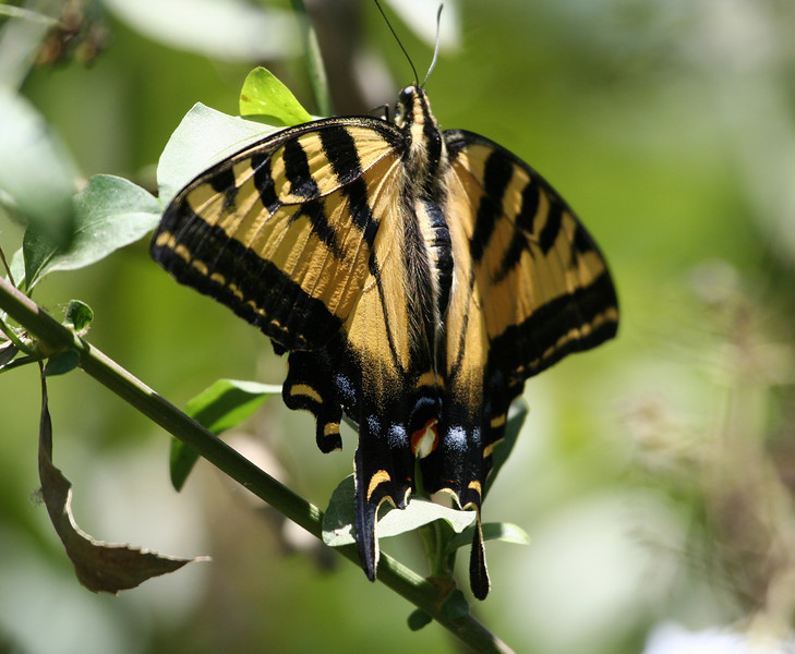 Western Tiger Swallowtail at Tijuana River Valley Regional Park