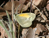 Dainty Sulphur in the Santa Rita Mountains