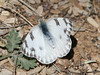 Checkered White at Patagonia State Park
