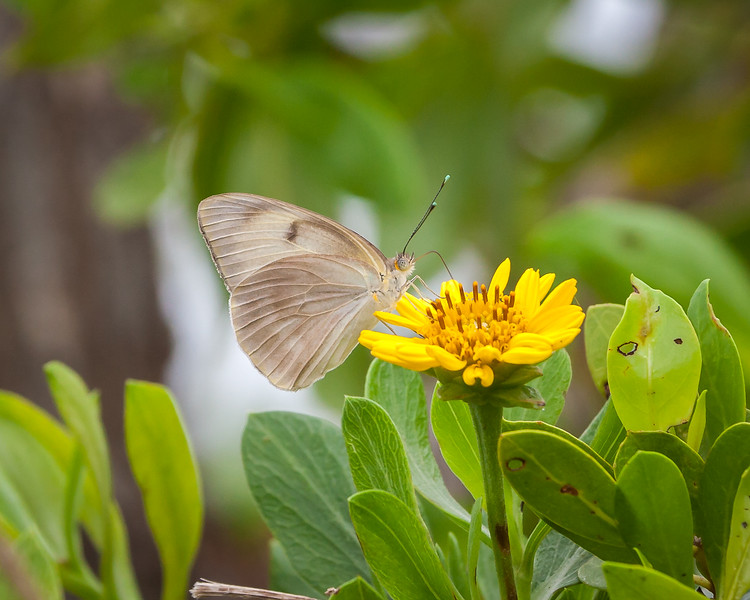 Great Southern White - female