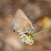 Mountain Mahogany Hairstreak