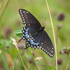 Black Swallowtail - female