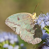 Large Orange Sulphur - female