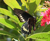 Polydamas Swallowtail at Leu Botanical Gardens