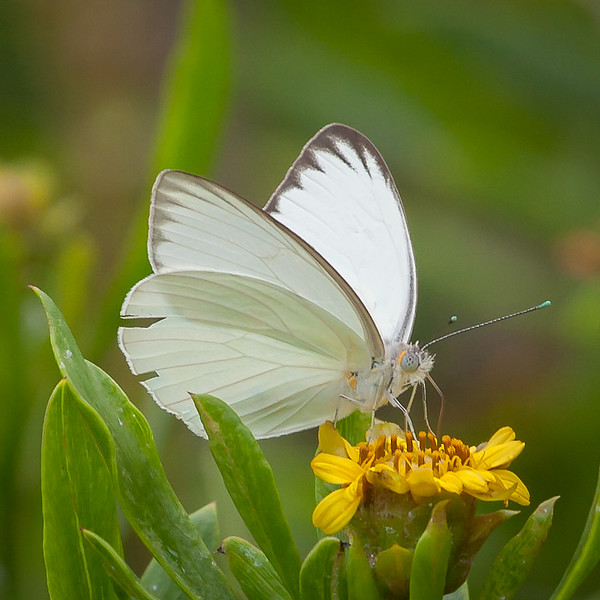 Great Southern White - male