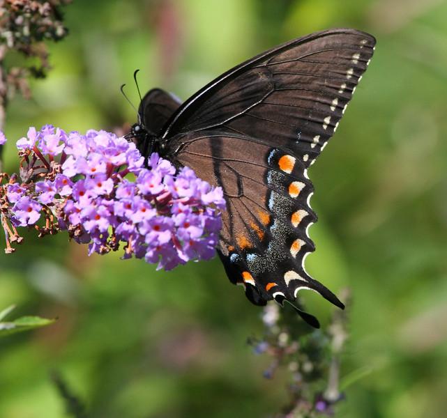 Eastern Tiger Swallowtail - dark female