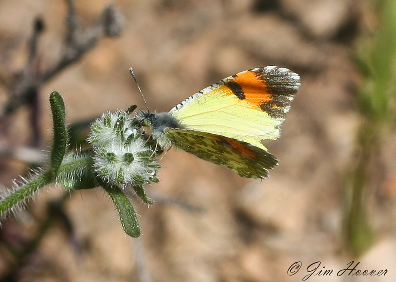 Pima Desert Orangetip