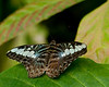 MALAYSIAN BLUE CLIPPER BUTTERFLY (Parthenos sylvia violacae) is a Brush-footed Butterfly of the Nymphalidae family. Found in South and South-East Asia, mostly in forested areas.