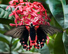 SCARLET MORMON, Swallowtail Butterfly, (Papilio rumanzovia) of the Papilionidae family. It is found in the Australasia ecozone, primarily in Indonesia.