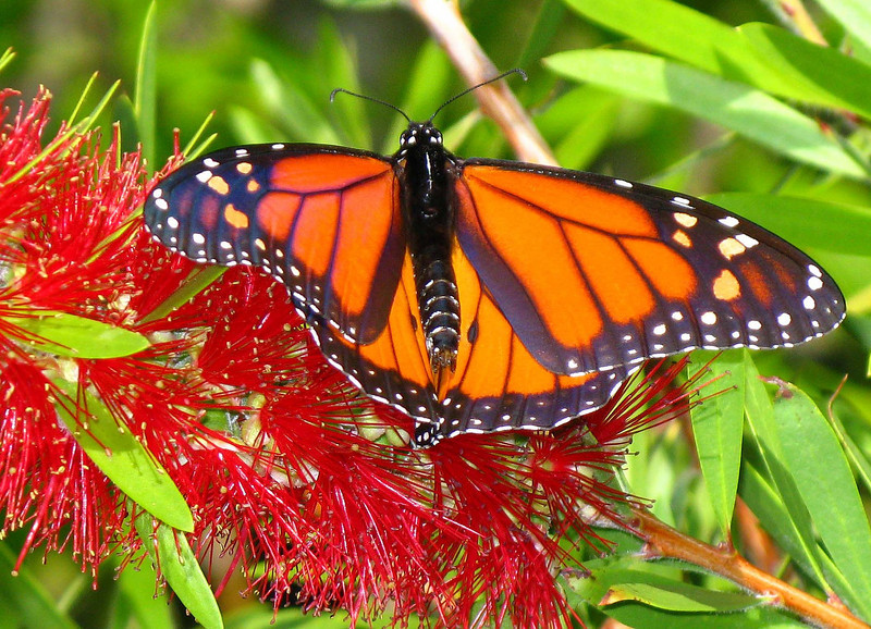 MONARCH BUTTERFLY (Danaus plexippus) is a Brush-footed Butterfly of the Nymphalidae family and found in North America.   They range from southern Canada to northern South America. Monarchs are especially noted for their lengthy annual migration. In North America they make massive southward migrations starting in August until the first frost. A northward migration takes place in the spring. The monarch is the only butterfly that migrates both north and south as the birds do on a regular basis. But no single individual makes the entire round trip.   This particular photograph was taken on Kiawah Island, SC in the gardens at The Sanctuary Hotel.