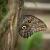 GIANT OWL BUTTERFLY,  Brush-footed Butterfly  (Caligo euphorbus) of the Nymphalidae family.  Found in the rainforests and secondary forests of Mexico, Central and South America.