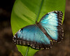 BLUE MORPHO,  Brush-footed Butterfly,  (Morpho peleides), of the Nymphalidae family. <br /> Lives in the rainforests of South America as well as Mexico and Central America.