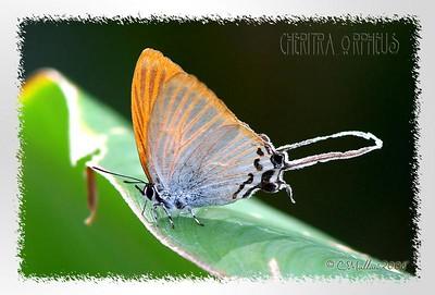Cheritra Orpheus