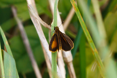 Least Skipper at Bells Bend Park, Nashville, TN (09-25-2010) - 352