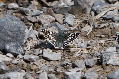 Checkered-skipper species at Bell's Bend Park, Nashville, TN (09-25-2010) - 080