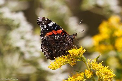 Red Admiral at Bell's Bend Park, Nashville, TN (09-25-2010) - 168