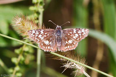 Checkered-skipper species at Bell's Bend Park, Nashville, TN (09-25-2010) - 130