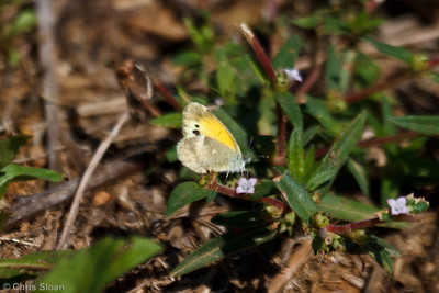 Dainty Sulphur winter form at Bells Bend Park, Nashville, TN (09-18-2010) - 606