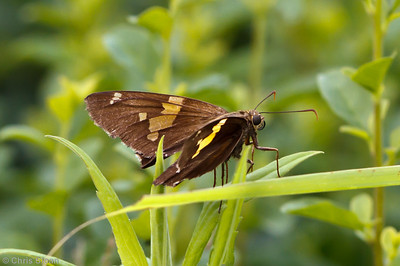 Silver-spotted Skipper female at Bells Bend Park, Nashville, TN (09-25-2010) - 292