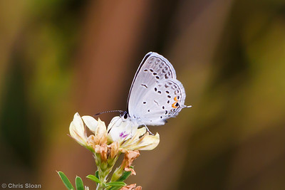 Eastern Tailed-Blue at Bells Bend Park, Nashville, TN (09-25-2010) - 336