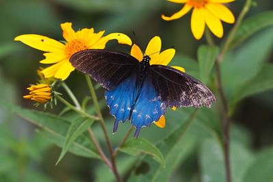 Bell's Bend Butterflies