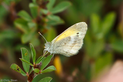 Dainty Sulphur at Bells Bend Park, Nashville, TN (09-25-2010) - 321