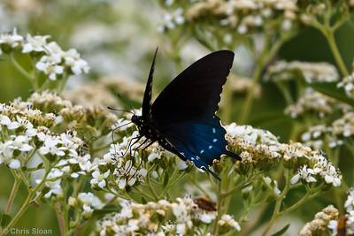 Pipevine Swallowtail male at Bells Bend Park, Nashville, TN (09-25-2010) - 299