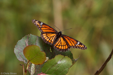 Viceroy at Bells Bend Park