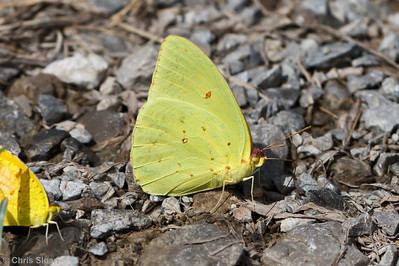 Cloudless Sulphur at Bell's Bend Park, Nashville, TN (09-25-2010) - 112