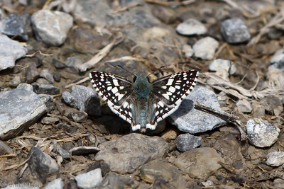 Checkered-skipper species at Bell's Bend Park, Nashville, TN (09-25-2010) - 105