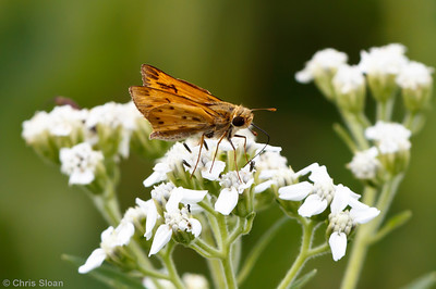 Fiery Skipper male at Bells Bend Park, Nashville, TN (09-25-2010) - 256
