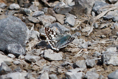 Checkered-skipper species at Bell's Bend Park, Nashville, TN (09-25-2010) - 079