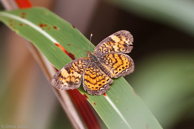Pearl Crescent at Bells Bend Park
