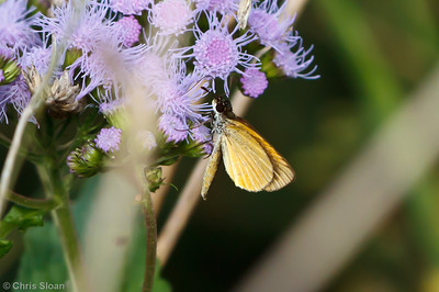 Least Skipper at Bells Bend Park, Nashville, TN (09-25-2010) - 348