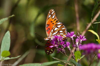 Gulf Fritillary at Bells Bend Park