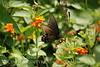 Pipevine Swallowtail on Lantana (4)