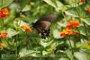 Pipevine Swallowtail on Lantana (2)