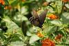 Pipevine Swallowtail on Lantana (6)